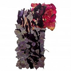 Althéa et Roses