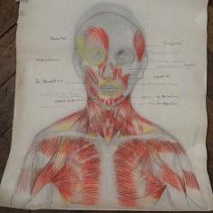 cours de dessin d anatomie .morphologie