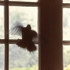 Animalité, Pigeon prisonnier